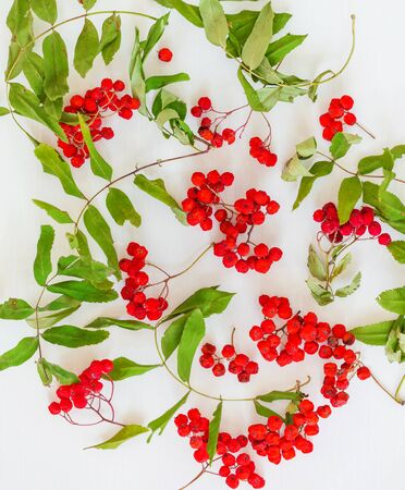 Natural ornamental background of bunches of red rowan berries and green leaves on white surface Banco de Imagens