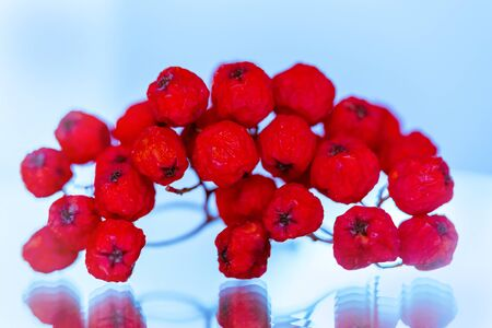 A bunch of red ripe rowan berries close-up on a light airy blue and white background with mirror reflection from the surface Banco de Imagens