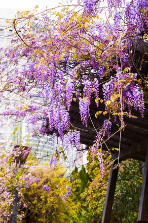Amazing clusters of wisteria flowers in Chinese city park. Hanging purple wisteria flowers. Wisteria climbers on wooden trellis. Spring blooming landscape