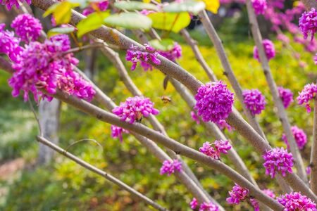 Bunches of pink flowers. Blooming cercis tree. Beautiful floral background. Purple flowers on the branches Stock Photo