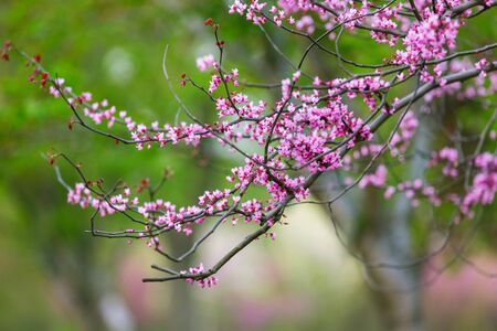 Purple flowers of Cercis canadensis on the branches close-up. Delicate floral background. Pink flowers on a blurry green background. Panoramic spring view.