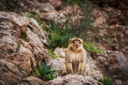 Barbary macaque leader. Magot monkey proud look. Monkey sits on a rock and looks into the distance