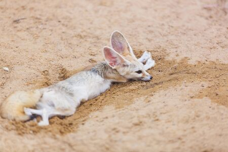 Fennec fox lying on the wet sand in the desert in the heat. Fennec suffering from heat. A sad mammal in captivity.