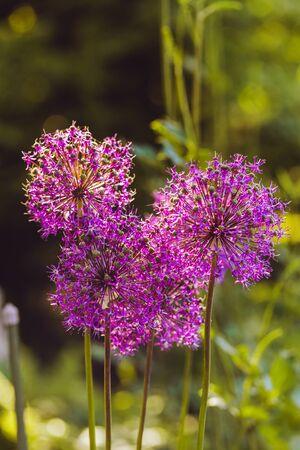 Flowering decorative allium. Globular purple unusual flowers. Vertical wallpaper. Natural floral background. Selection varieties and hybrids Stok Fotoğraf