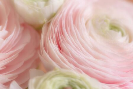 Soft floral background. Beautiful pink buttercups close up. Pastel colored ranunculus flower bouquet. Macrophotography. Perfect for holidays, celebrations, greetings, invitations, posters