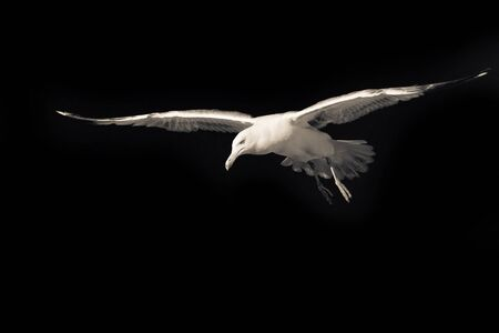 Confident bird leader. Clear direction of travel. Seagull on a black background. Spread wings. Bird in flight. Motivational wallpaper with free space for text