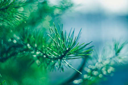 Abstract turquoise colorful background. Picturesque conifer needles. A close-up of a pine branch. Natural botanical blue background. Macrophotography of needles