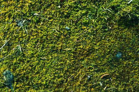 Natural abstract moss background. Green moss texture. Dark damp surface. Forest autumn litter