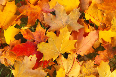 Close-up of bright yellow, orange and red maple leaves. Abstract autumn background. Fantastic vibrant leaves on the grass