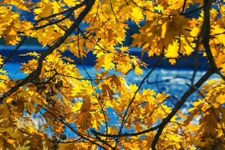 Autumn background with bright oak leaves. Vivid tree crown. Yellow and orange leaves on a blue background. Seasonal wallpaper Zdjęcie Seryjne