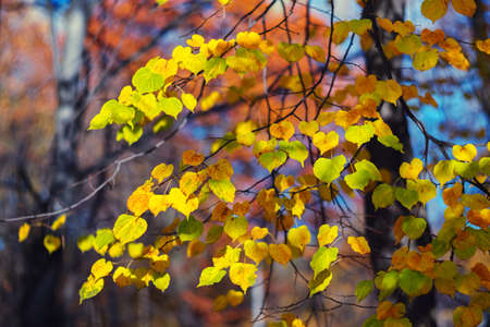 Autumn background with bright lime tree leaves. Vivid crown, branches and trunk. Yellow and orange leaves on a blue background. Seasonal wallpaper