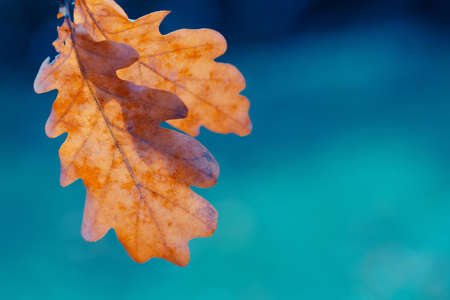 Abstract autumn concept blue background. Oak leaves in the rays of the sun. Bright orange leaf with blurred bokeh on turquoise background 版權商用圖片