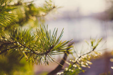 Bright green natural background. Beautiful conifer branch. A close-up of a pine tree in sun rays. Festive wallpaper