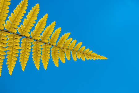 Natural fern frond close-up. Yellow fern leaf on a deep blue background. Concept botanical and scientific wallpaper. Tropical summer background. Magic forest image