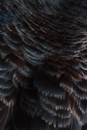Close-up of black swan. Beautiful texture of bird feather.