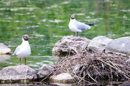 Black-headed gull with nest and nestling.