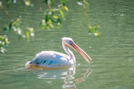 The great pelican, bird in a zoo.