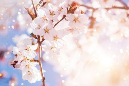 Close up photo of cherry blossoms brunch. 免版税图像