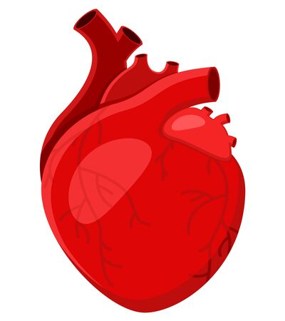 Real human heart close up on a white background Vector Illustration
