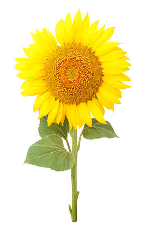 Sunflower yellow close-up on a white background. Isolated Stock Photo