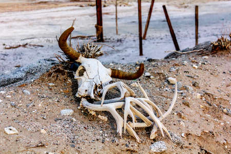 Animal skull in the sand near Bombay Beach, Salton Sea, California, United States. Stock Photo