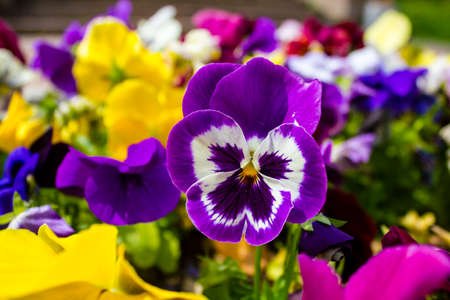 Close up of the beautiful purple pansy flower in the garden.