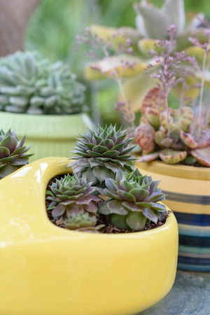Succulents or cactus in a garden. Sempervivum Hens and Chicks in flower pot. Close up image of succulent.