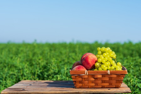 Shavuot: Festival of First Fruits habikkurim, summer Jewish holidays. Grapes and peaches on basket outside on the green field and blue sky background at sunny happy day.Copy space for text. 版權商用圖片