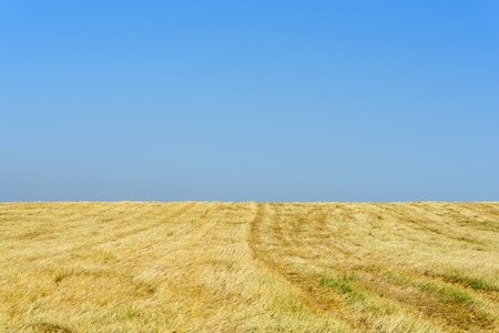 Gold wheat fields after harvest and blue sky in sunny day. Copy space.