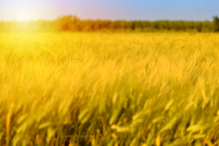 Autumn fall field outdoor background. Sunny day harvest, crop happy concept. Wheat yellow gold meadow at sunset. Copy space empty no body, fall sale background.