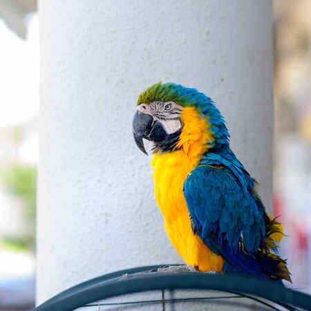 Portrait colorful Ara parrot on cage.Macaw outside your cage.