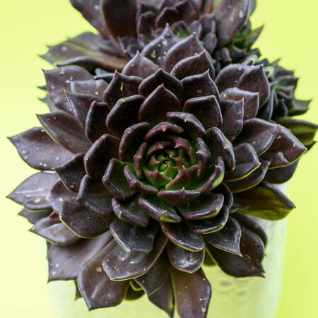 Cactus Succulent plant Echeveria Black Prince in white flower pot on colored yellow background.