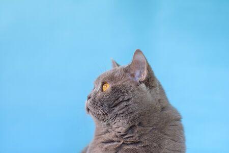 Portrait Cute British Shorthair cat on blue background.