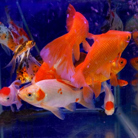 2020 Color Trends. Aquarium with blue water and lush lava color fish. Selective focus. 写真素材