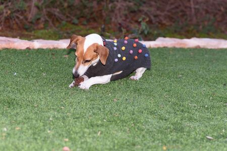Cute jack Russell terrier dog dressed pretty modern fashion pet small sweater eating bone in garden. 写真素材