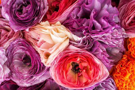 Beautiful flowers in bloom. Close up vibrant colorful ranunculus. 写真素材