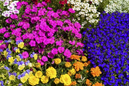 Flowers in bloom. Beautiful garden on a sunny day. Group of bloom pansy flowers and other amazing plants. Colorful flower bed blue, yellow, orange, pink, purple flowers.