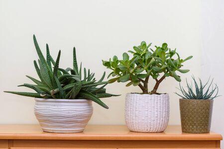Home gardening. Indoor plants in flower pots in garden room. 写真素材