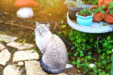 Fluffy cat with bright blue eyes looking forward by sunny day, sitting in the garden at sunset. 版權商用圖片