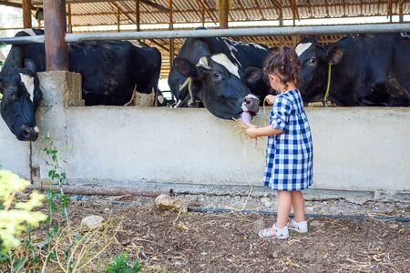 Little girl feeding cows on the farm. Takes care of their animals. Focus on cow. Horizontal photo.