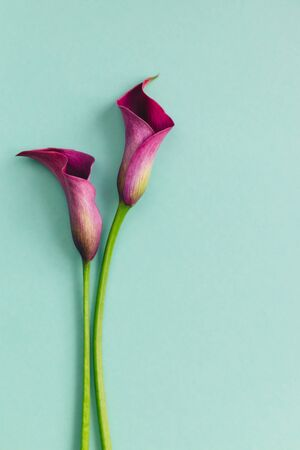 Two beautiful violet calla lilies on turquoise background. Flat lay. Place for text.