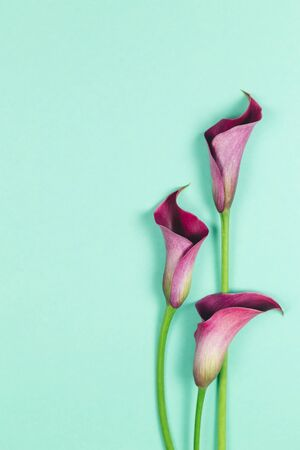 Beautiful violet calla lilies on turquoise background. Flat lay. Place for text.