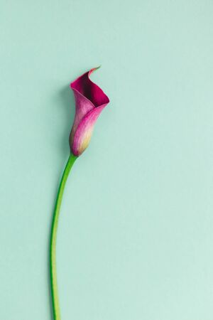 Beautiful violet calla lily on turquoise background. Flat lay. Place for text.