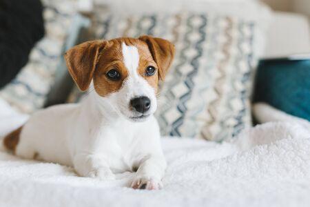 Entzückender Welpe Jack Russell Terrier, der auf die weiße Decke legt. Porträt eines kleinen Hundes.