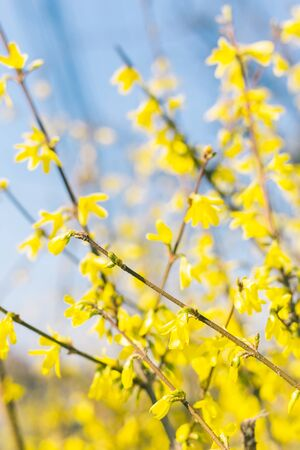 Amazing yellow Forsythia flowers and blue sky. Golden Bell, Border Forsythia blooming in spring garden. Selective focus. Place for text.