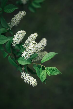 Branch of blossoming bird-cherry tree in a spring garden.  Selective focus.