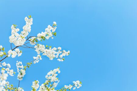 Branch of a blossoming tree in a blue sky. Spring blossom. Selective focus. Place for text. 版權商用圖片