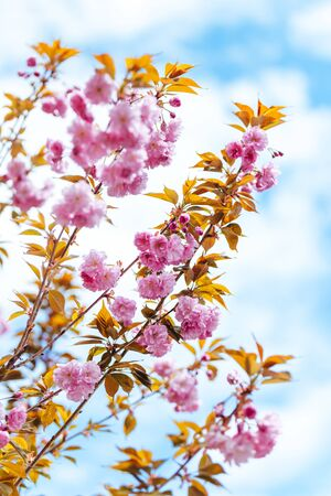 Amazing pink cherry blossoms on the Sakura tree in a blue sky.  Beautiful spring tree.