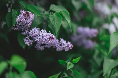 Branch of blossoming lilac in a spring garden.  Selective focus.