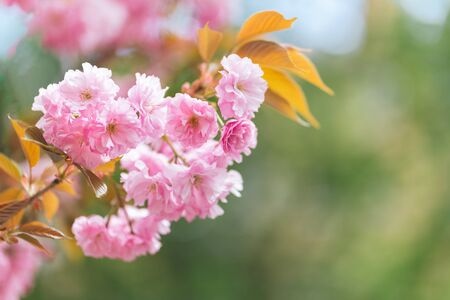 Amazing pink cherry blossoms on the Sakura tree.  Beautiful spring tree. Close-up.